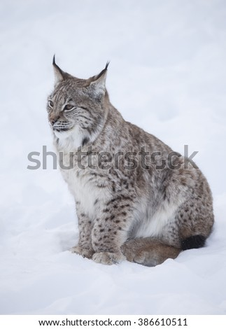 A side view profile of a Lynx cub wildcat lying in deep snow during a winter. Norway. - stock photo
