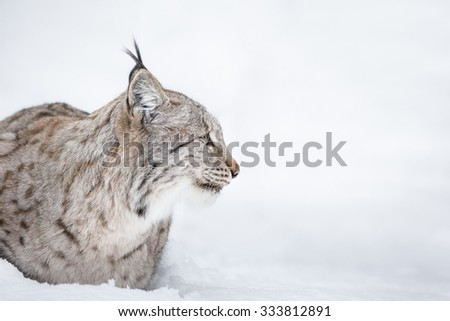 A side view profile of a Lynx wildcat lying in deep snow during a Norwegian winter. - stock photo