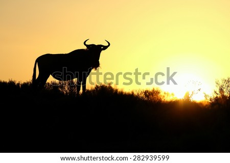 A silhouette of a blue wildebeest against a spectacular African sunrise. Taken in Kenya during the great migration. - stock photo