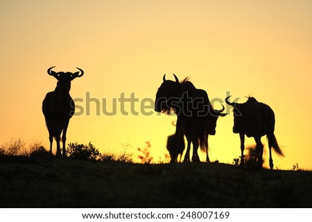 A silhouette of a herd of blue wildebeest against a spectacular African sunrise. Taken in Kenya during the great migration.
