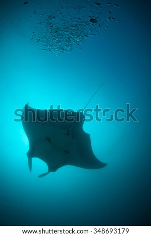 A silhouette of a manta ray swimming overhead in clear blue water - stock photo