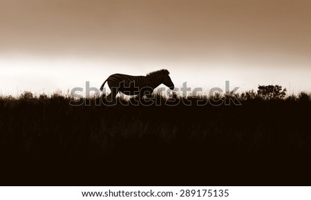A silhouette of a zebra. South Africa - stock photo