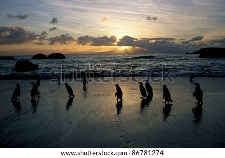 A silhouette of African Penguins at the Cape seashore at dawn - stock photo