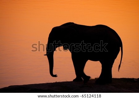 A silhouette of an African elephant at sunset - stock photo