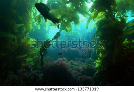 A silhouetted Calico Bass in a kelp forest off of Catalina Island, California. - stock photo