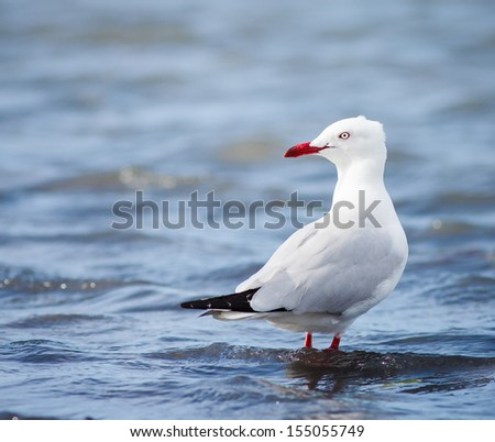 A SIlver gull (Larus novaehollandiae) standing in shallow water, Queensland, Australia - stock photo