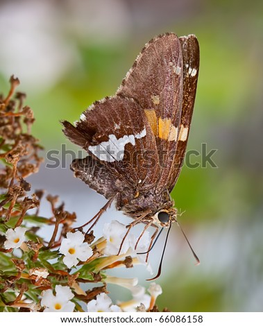 A silver-spotted skipper butterfly on a flower in a garden. The butterfly is sucking nectar from a flower. - stock photo