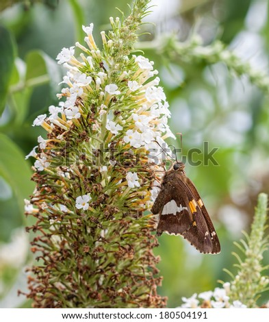 A Silver-Spotted Skipper Butterfly Sucking Nectar from a flower in a garden. The butterfly tongue is seen inserted into the flower. - stock photo
