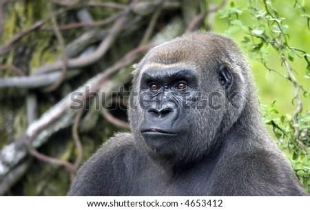 A silverback gorilla stares into the distance - stock photo