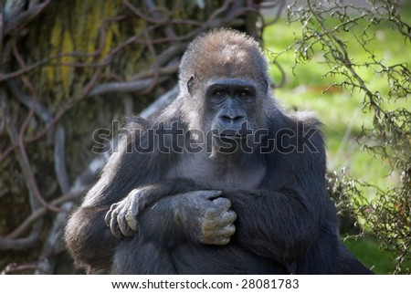 A single adult Gorilla stare thoughtfully at you. - stock photo