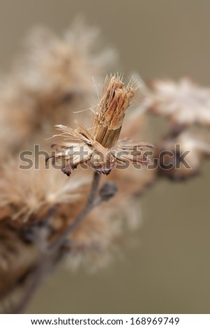 A single aster seed lays itself on a drying aster's petals. The seed waits to take flight into the prairie with the help of a gentle breeze. - stock photo
