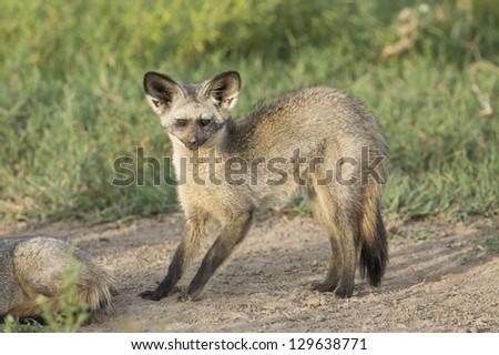 A single Bat-eared fox in the Ndutu area of Tanzania's serengeti National Park - stock photo