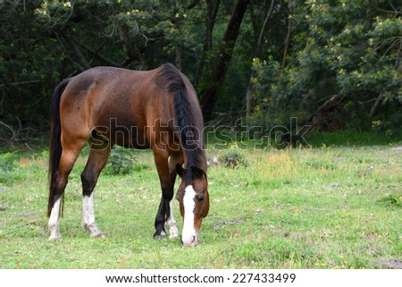 A single bay horse grazing on the paddock. - stock photo