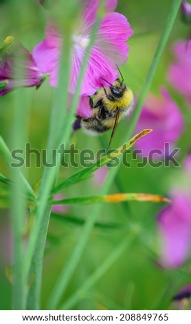 A single bee on a pink flower - stock photo