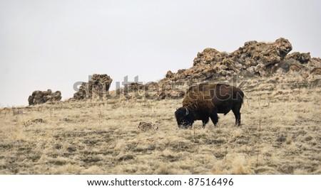A single bison in an open field. Antelope Island, Utah. - stock photo