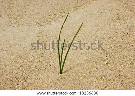 A single blade of grass in the sand