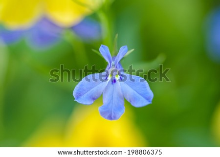 A single blue lobelia.  These tiny flowers are often found in hanging and potted plants. - stock photo