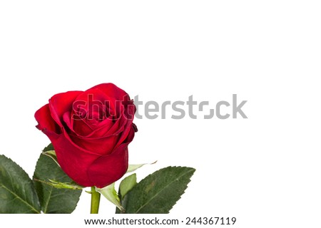 A single bright red rose isolated on white - stock photo