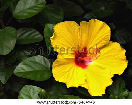 A single bright yellow hibiscus flower among the greenery - stock photo