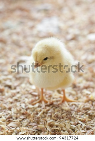 A single chick standing in barnyard - stock photo