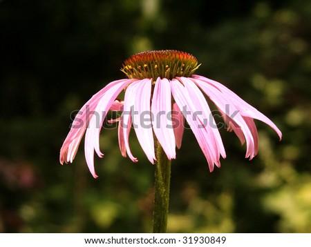 A single coneflower - stock photo