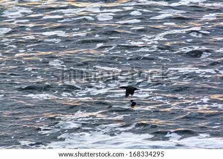A single cormorant flying low over the ocean at Pemaquid Point, Maine.