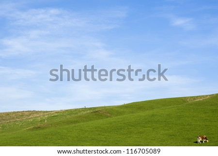 A single cow grazing in the fields with blue sky.