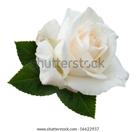 "A single creamy white hybrid tea rose, variety ""Pascali"", sprinkled with dewdrops and nestling on a spray of rose leaves. Isolated on white with clipping path. - stock photo"