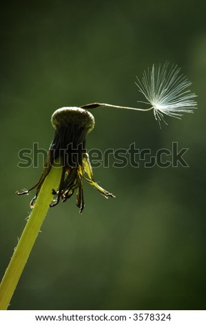 A single dandelion seed remains on the seed head of a dandelion clock. - stock photo
