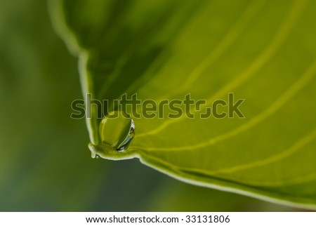 A single drop of water sits at the tip of a Hosta leaf given the appearance of a small snail. - stock photo