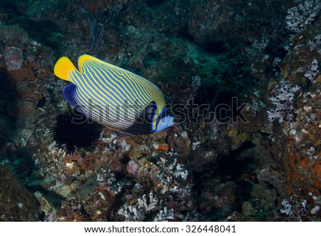 A single Emperor Angelfish (Pomacanthus imperator) tropical fish against a coral encrusted rock background on a coral reef on an offshore island in the Musandam peninsula, Oman, straits of Hormuz