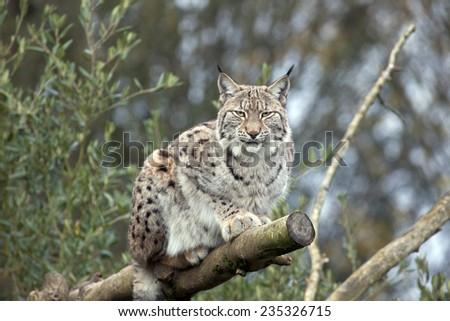A single European Lynx lying in a tree - stock photo