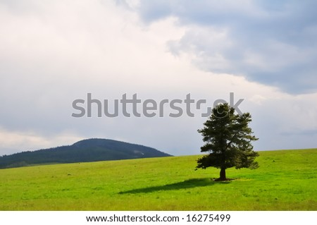A single evergreen tree stands in a green summer field against a stormy grey Montana sky.