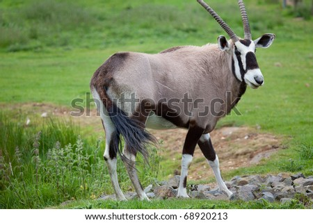 A single Gemsbok standing in a meadow