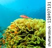 A single Goatfish sits on top of a large green Salad Coral - stock photo