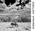 A single horse eating in the wilderness. This is a black and white infrared photograph. - stock photo