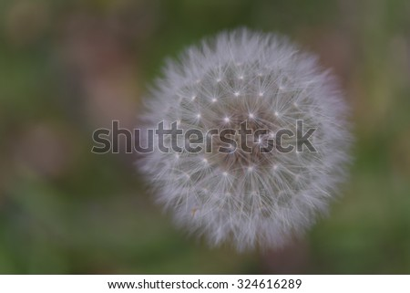A single isolated dandelion head that has gone to seed, in close up and cropped view with a pastel mottled background leaving room for text on the left. These are also known as blowballs or clocks. - stock photo