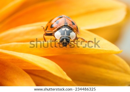 A single ladybug explores a yellow daisy. - stock photo