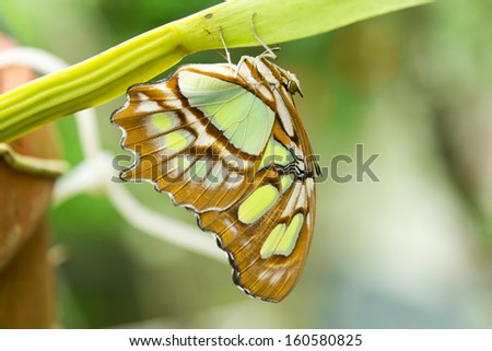 A single Malachite butterfly rests on the underside of a leaf stem - stock photo