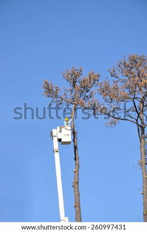 A single man high up in a cherry picker, cutting down a dead pine tree against a bright blue sky - stock photo