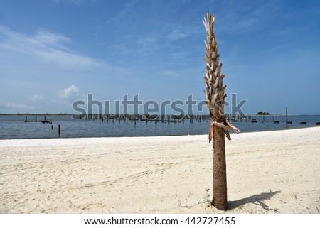A Single New Palm Tree planted on a Sandy Beach  - stock photo