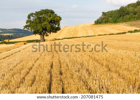 A single oak tree stands out in a recently harvested field in the English countryside - stock photo