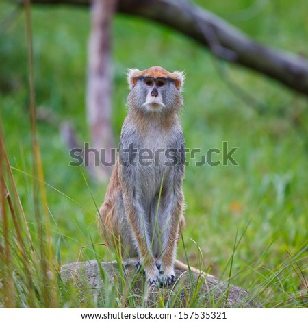 A single Patas Monkey sitting down with a stare at the Woodland Park Zoo.