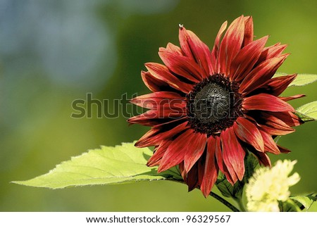 a single photo of a Red sunflower blurry green background - stock photo