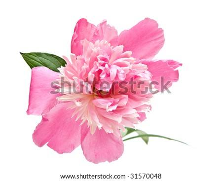 A single pink peony bloom isolated on white.