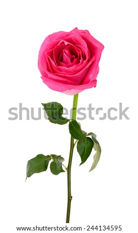 A single pink rose isolated white