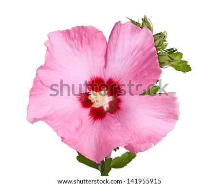 A single purple flower and buds of the Rose of Sharon (Hibiscus syriacus) plant isolated against a white background - stock photo