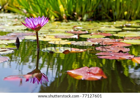 A single purple water lily flower floating in a lily pond - stock photo