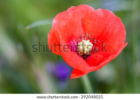 A single red Common poppy, Papaver rhoeas,  with soft focus and diffused background.close-up - stock photo