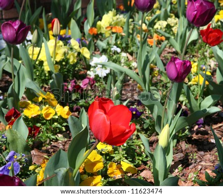 A single red iris in a colorful flower bed of pansies and other flowers